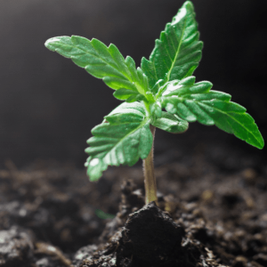 Une petite plante qui commence à pousser hors du sol.